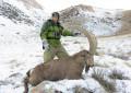 Козерог центрально-азиатский Казахстан