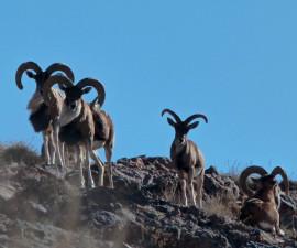 Самцы афганского уриала на границе Ирана и Афганистана. Фото: © Морад Зольфагари