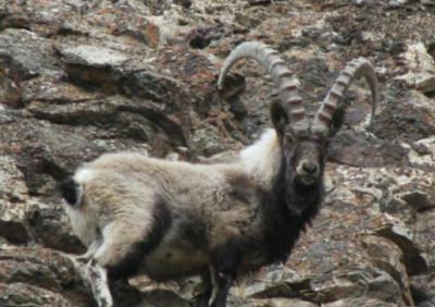 Алтайский горный козел (Capra sibirica sibirica), включая экотипы Российского Алтая, Казахского Алтая, Саян, а также интродуцированного азиатского горного козла (Нью-Мексико)
