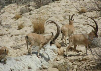 Белуджистанский безоаровый козёл (Capra aegagrus blythi)