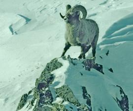 Чукотский снежный баран