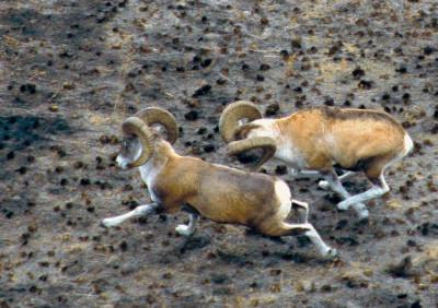 Самцы джунгарского архара. Фото: © Александр Бербер