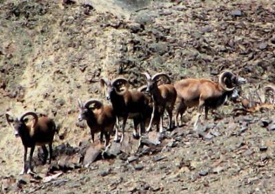 Группа самцов керманского барана в заповеднике Найбандан, провинция Йезд, Иран. Фото: © Бабак Джурабчан