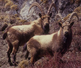 Гималайский горный козёл (Capra sibirica sakeen), включая куньлуньский экотип