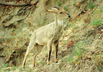 Самец гималайского горала, Национальный парк Раджеджи, Индия (западный серый экотип). Фото: © А. Дж. Т. Джонсингх