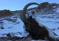 Козерог Памирский