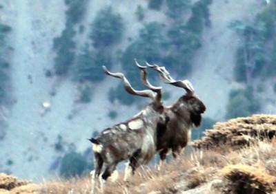 Кашмирский винторогий козёл (Capra falconeri cashmiriensis)