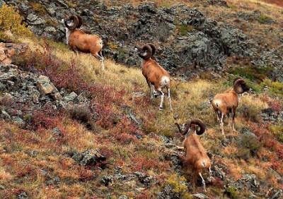 Группа казахстанских архаров в Каркаралинском национальном парке. Фото: Открытый источник