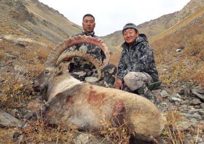 Трофей алтайского козерога из Монголии