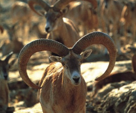 Две разные формы рогов у малоазийских муфлонов. Фото: © Айкут Индже www.aykutince.com DKMP Турции