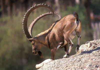Нубийский горный козел (Capra nubiana)