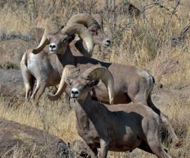 Три самца пустынного толсторога в природном заповеднике Элефант Маунтин, Техас. Фото: © Дэвид Ветзел, Общество охраны толсторогов в Техасе