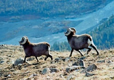 Два взрослых самца путоранского снежного барана на плато Путорана, Путоранский природный заповедник, Красноярский край, Россия.