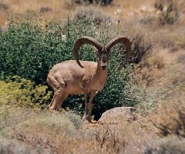 Самец ширазского муфлона, Национальный парк Баму, провинция Фарс/Иран. Фото: © Хассан Могими