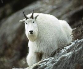 Снежная коза (Oreamnos americanus)