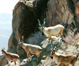 Сулейманов винторогий козёл (Capra falconeri jerdoni)