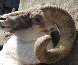 Тибетский (ладакский) архар, и есть ли у него «прописка» на Памире? Часть 3