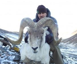 Охота на аргали брукей и памирского козерога
