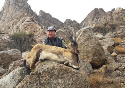 Персидский пустынный козерог