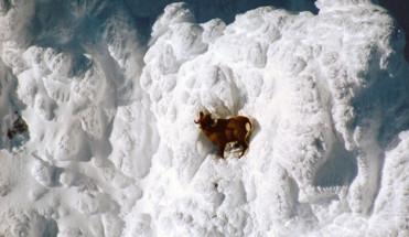 Камчатский снежный баран