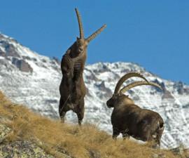 Альпийский горный козел (Capra ibex)