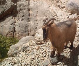 Взрослый самец аравийского тара в июле. Фото: © Стив Росс (Национальный центр полевых исследований по охране окружающей среды, Оман)