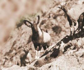Chiltan Wild Goat (capra aegagrus chialtanensis)