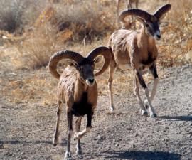 Самцы эльбурских баранов, природоохранная зона Хафтад-Гхолех (центрально-восточный Иран). Фото: © Хассан Могхими