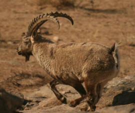 Гобийский горный козел (Capra sibirica hagenbecki)