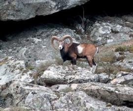 Самец корсиканского муфлона из Чинто, Корсика, сфотографированный в марте. Фото: © Пьер Бенедетти