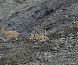 Самцы ладакского уриала, национальный парк Хемис, Ладак, Индия Фото: © Эрик Драгеско