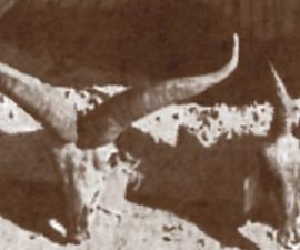 Самец и очень старая самка малого голубого барана, добытые Эрнстом Шефером вблизи Батана, долина Янцзы, провинция Сычуань, Китай. Фото: Эрнст Шефер, 1937