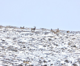 Hunting for a Siberian Ibex