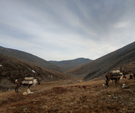 Hunting for the Yakutia snow sheep in 2020