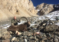 Hunting for a Pamir Ibex.