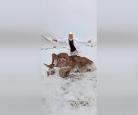 Охота на аргали Матиссона